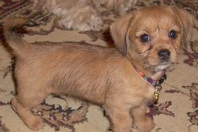Schweenie puppy