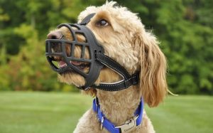 A large dog wearing muzzle.