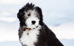 Sheepadoodle temperament and personality