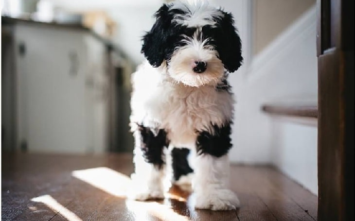Sheepadoodle temperament behavior, and personality