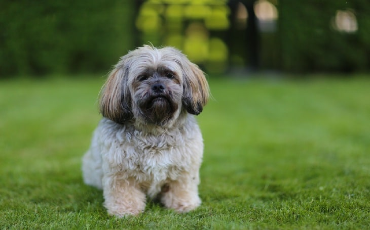 Shih Apso pesonality, temperament, and behavior