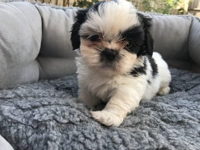 Shih Apso puppy
