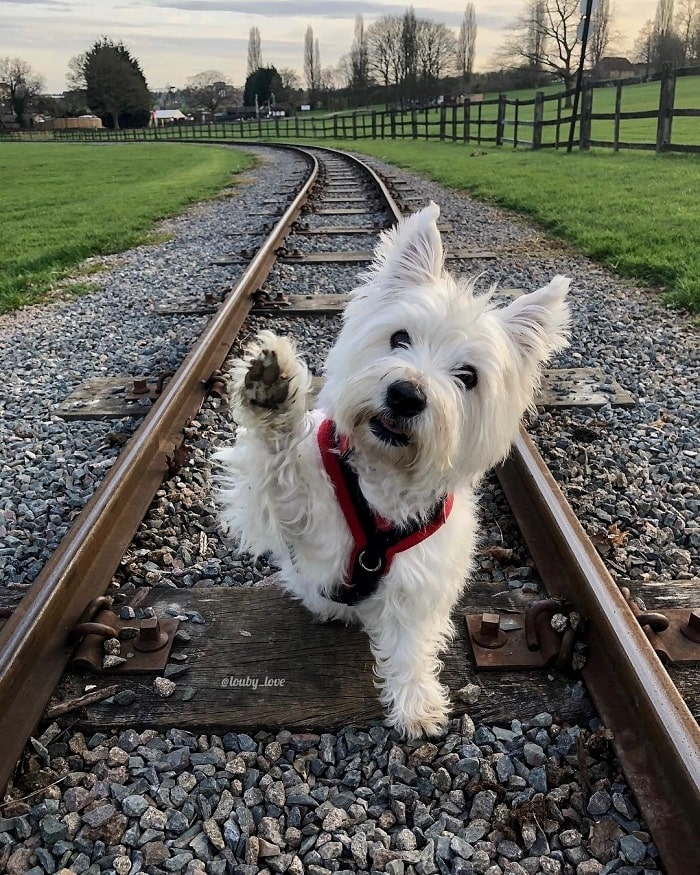 West Highland White Terrier giving a paw