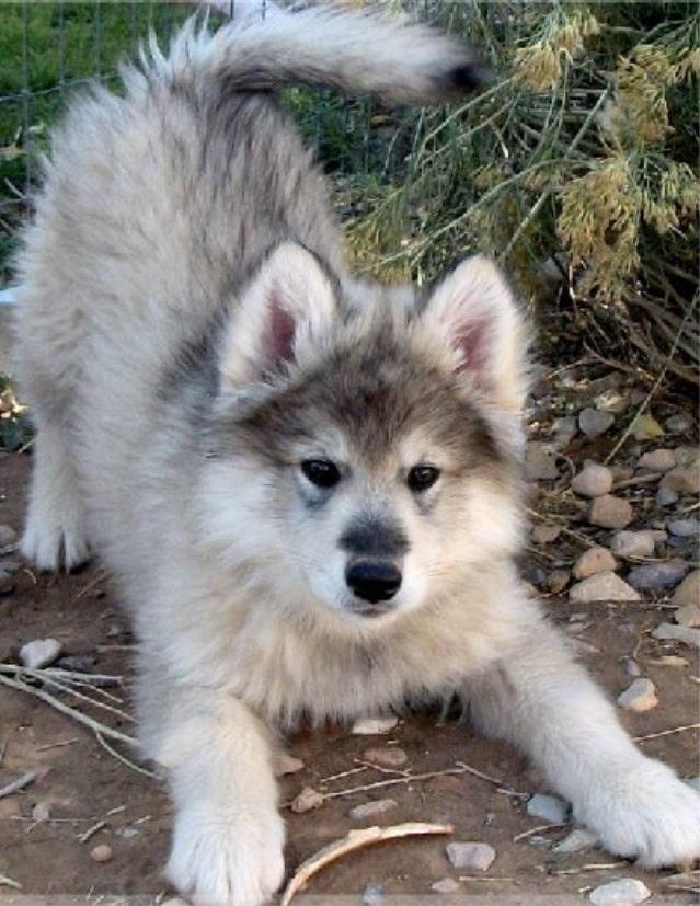 Wolamute puppy cost