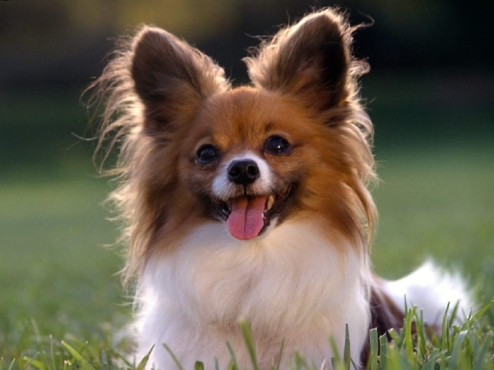cute little Papillon