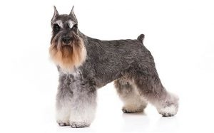 standard schnauzer history, behavior