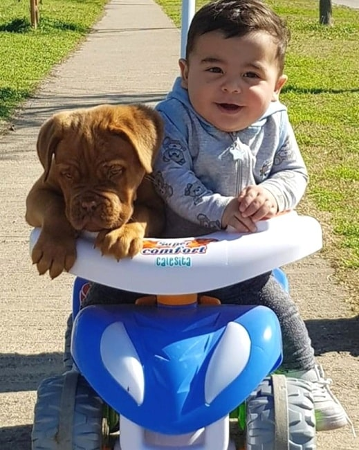 A Dogue de Bordeaux puppy and a baby boy playing