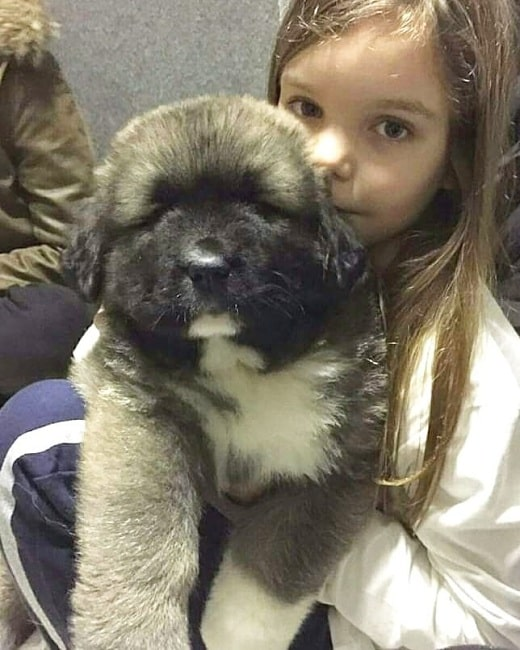 A girl and Caucasian Shepherd Dog puppy