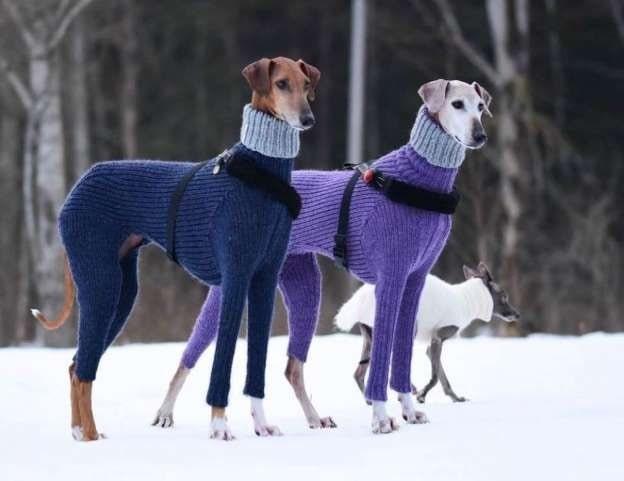 Azawakh Dogs