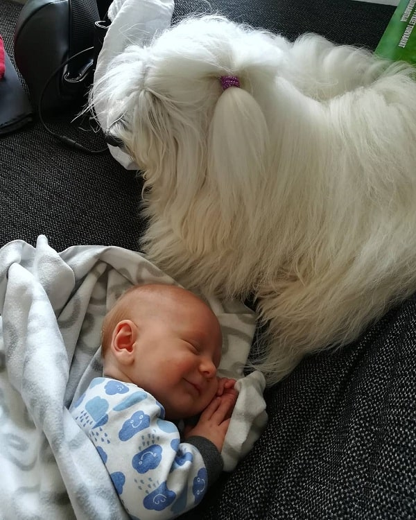 Baby happily sleeping besides Coton de Tulear