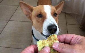 Basenji Eating habit and feeding methods