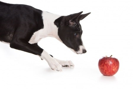 Basenji looking at an apple