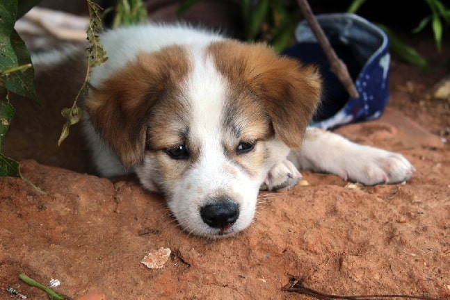 Bea-Tzu puppy