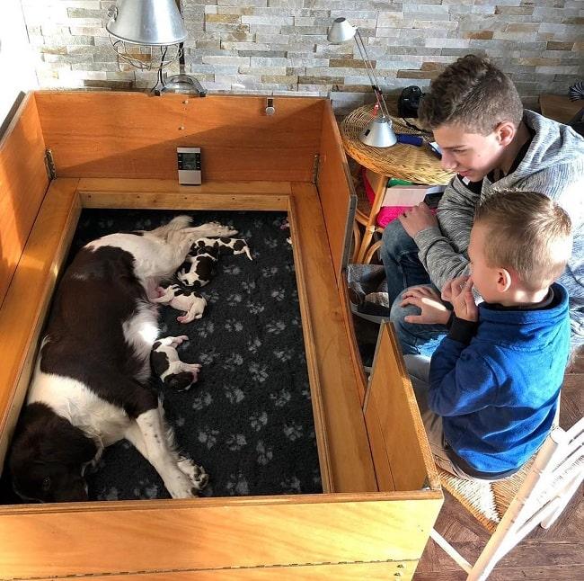 Boys watching Drentsche Patrijshond feeding its puppies