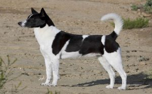 Cannan Dog history, training, and behavior
