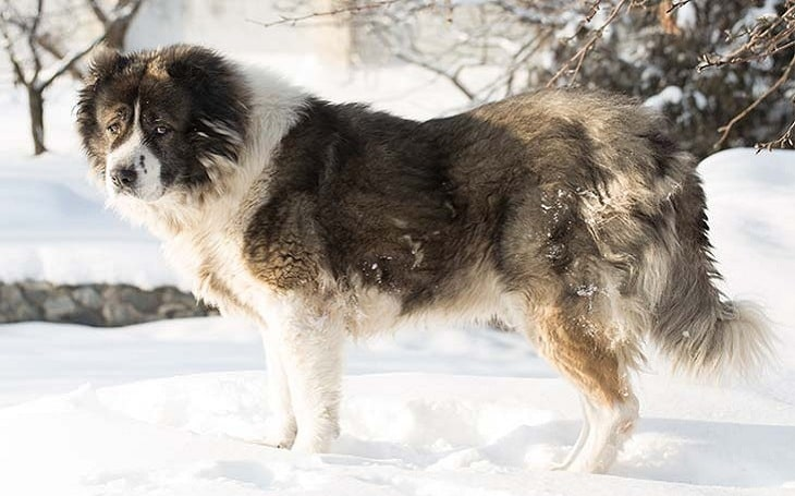 Caucasian Shepherd Dog Behavior and training