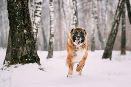 Caucasian Shepherd Dog running on snow