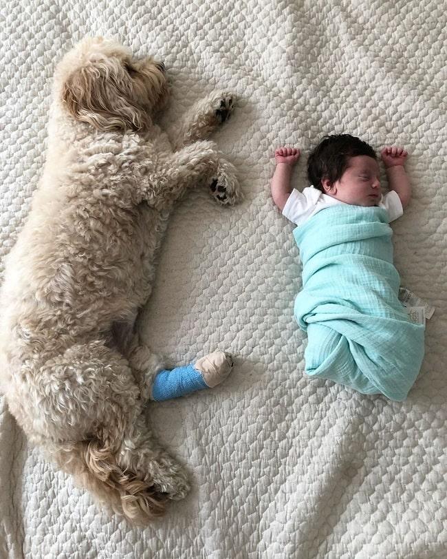 Cavachon sleeping with baby