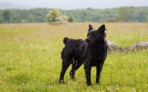 Croatian Sheepdog personality and training