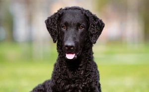 Curly-Coated Retriever behavior and personality