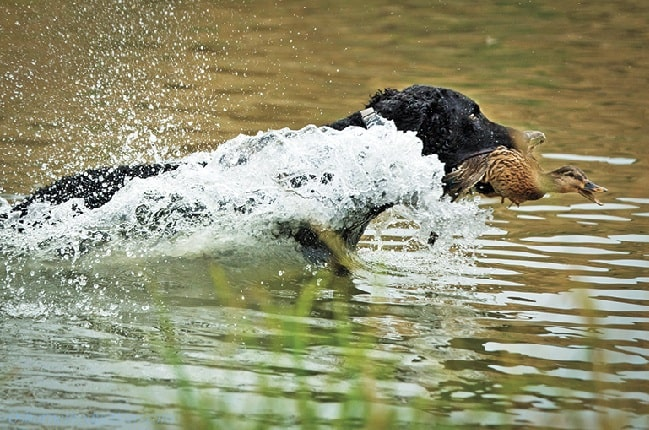Curly-Coated Retriever retrieving in water