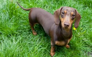 Dachshund personality and training