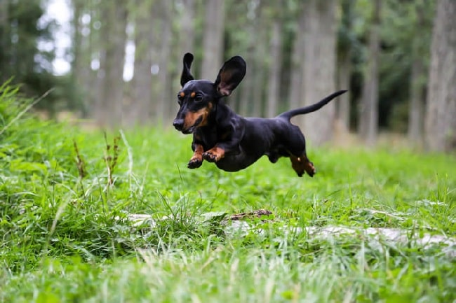 Dachshund running on the field