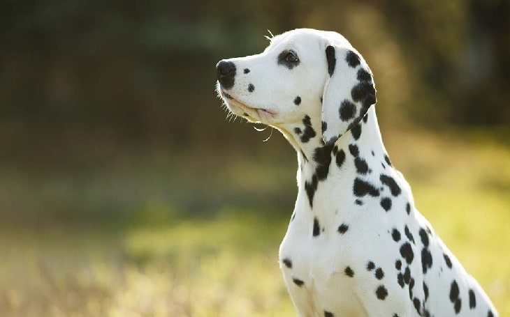 Dalmatian Behavior, temperament, and personality