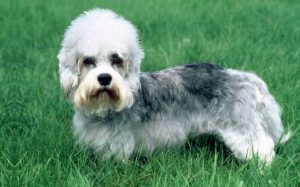 Dandie Dinmont Behavior and training