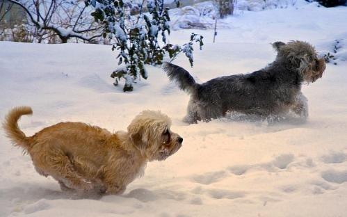 Dandie Dinmont running on the snow