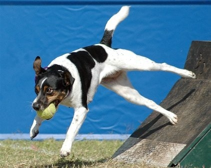 Danish-Swedish farmdog is a very active dog