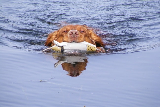 Deutscher Wachtelhund retrieving