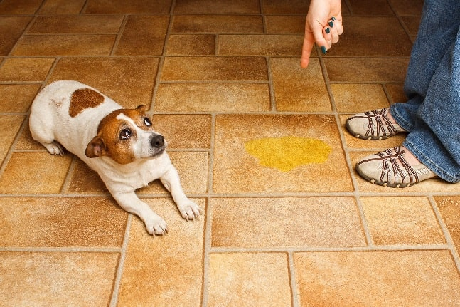 Dog urinated on the floor