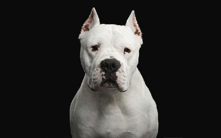 Dogo Argentino Behavior and training