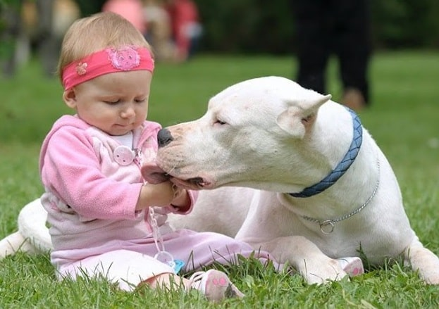 Dogo Argentino looking after a baby girl