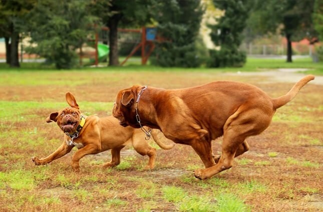Dogue de Bordeaux puppy and mother playing