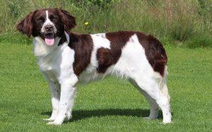 Drentsche Patrijshond dog behavior and trainng