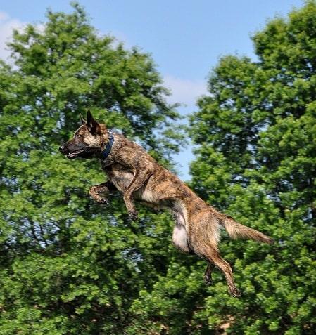 Dutch Shepherd agility