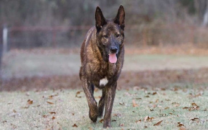 Dutch Shepherd behavior and personality