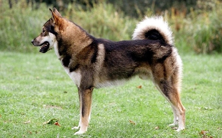 East Siberian Laika temperament and personality