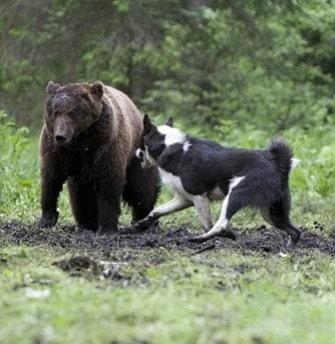 East Siberian Laika hunting bear