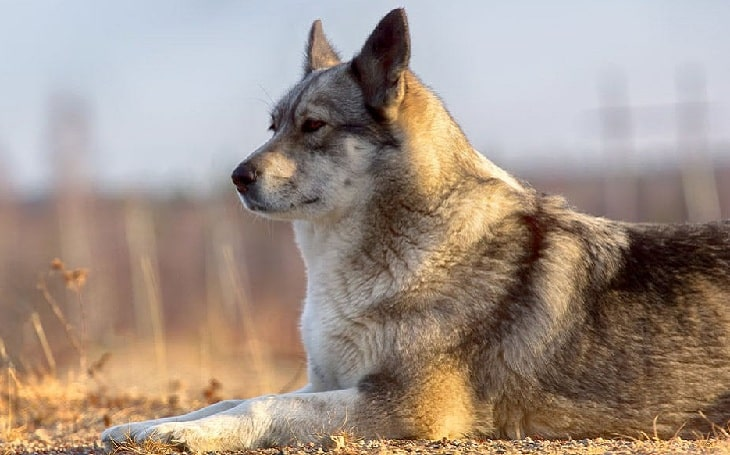 East Siberian Laika behavior, origin, and health