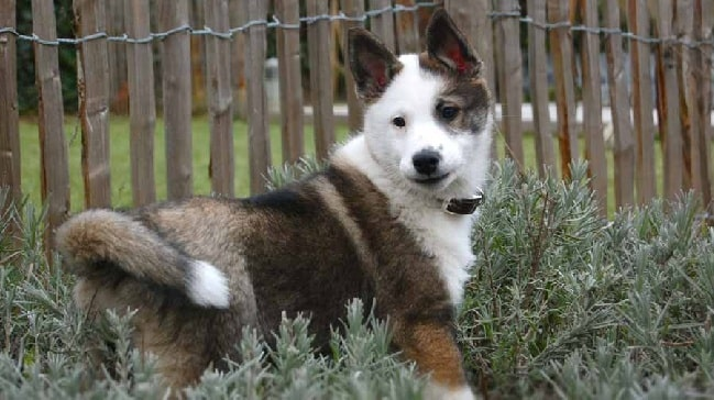 East Siberian Laika puppy