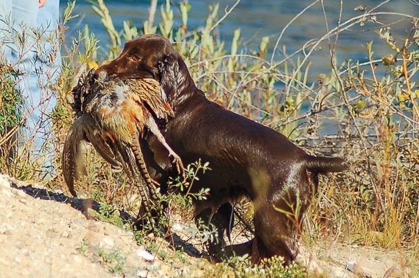 Field Spaniel retrieving a bird
