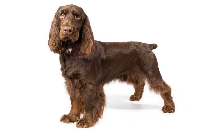 Field Spaniel behavior and traning