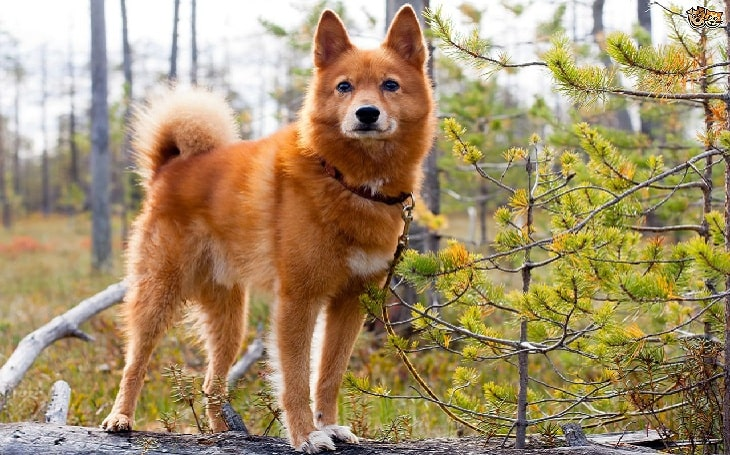 Finnish Spitz Behavior and training