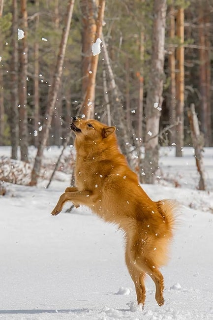 Finnish Spitz playing on the snow