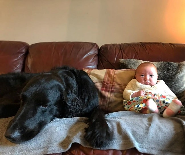 Flat-Coated Retriever and baby relaxing on a couch