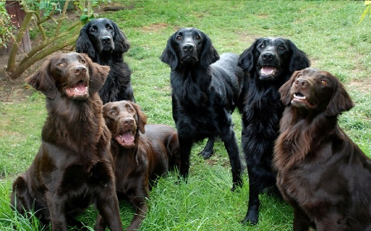 Flat-Coated Retriever behavior and training