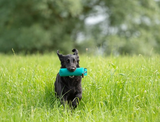 Flat-Coated Retriever running on the field